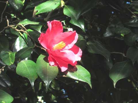 椿が咲き出した